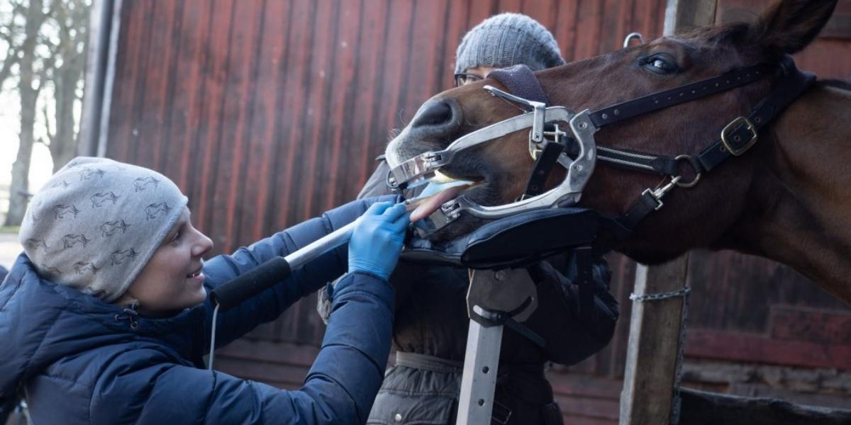 munhåleundersökning på häst